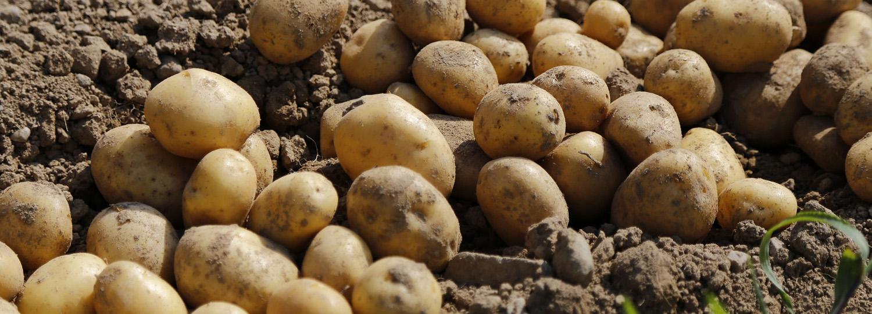 Potato-1500x540